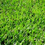 Bermuda Grass
