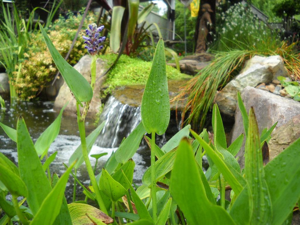 Three pond plants that you need right now south for Plants around ponds