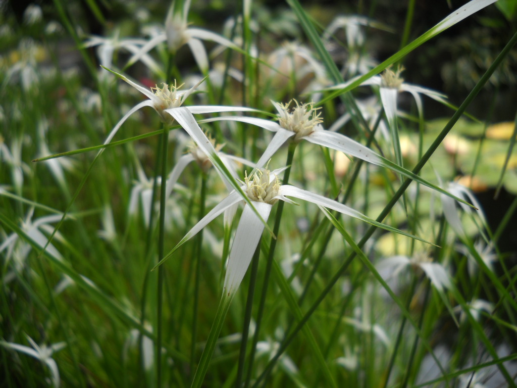 Three pond plants that you need right now south for Pond grass plants