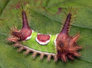 Caution : Saddleback Caterpillar
