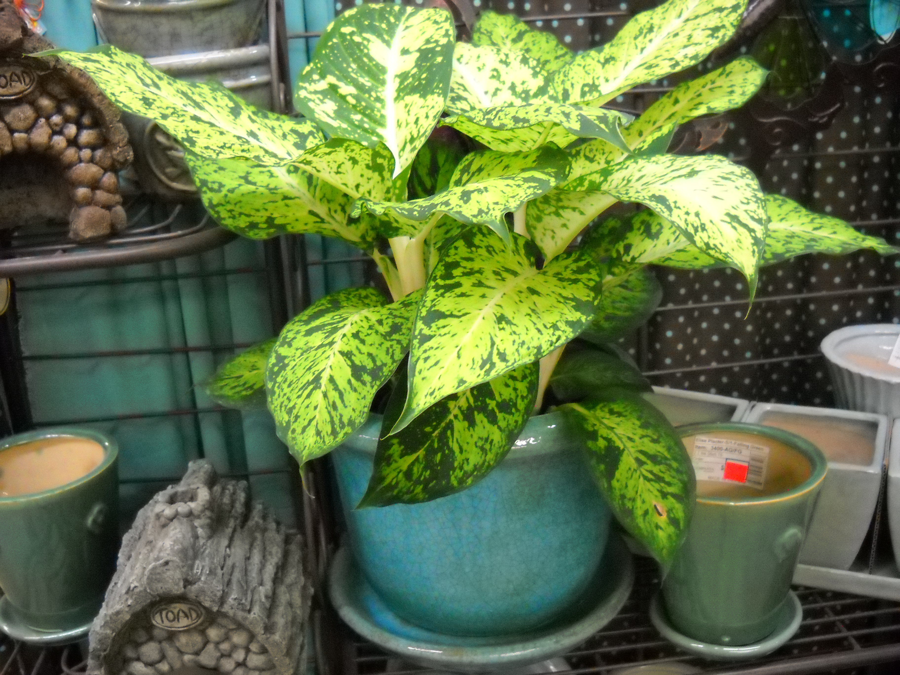 pretty dieffenbachia house plant. While some foliage may turn yellow on you  no need to react in a panicked manner This just means re little plant wants food Dieffenbachia The Houseplant of your dreams South Pleasantburg