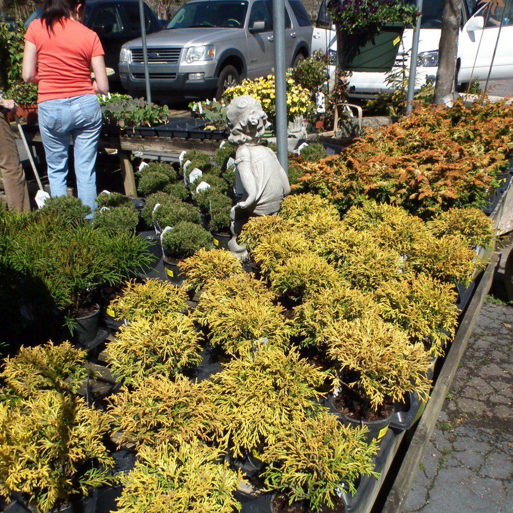 Exotic Evergreens South Pleasantburg Nursery